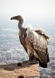 A white backed vulture perched on a wall at Meherangarh fort poster
