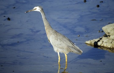 White-faced Heron, Egretta novaehollandiae