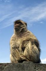 Barbary Macaque, Macaca sylvanus