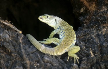 Ocellated Lizard (Timon lepidus), Europe's largest lizard