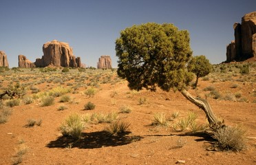 desert of monument valley, Arizona, with old Utah juniper tree