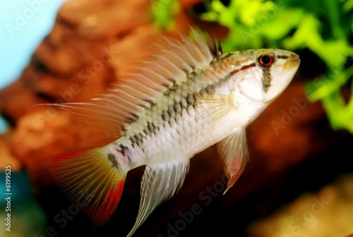 Identification picture for the Apistogramma viejita (Male)