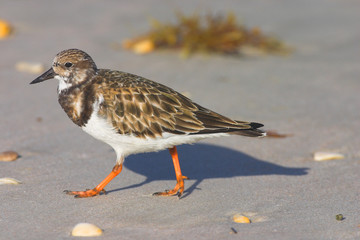 Ruddy Turnstone (Arenaria interpres) foraging on the beach