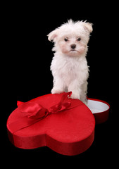 A cute little dog in a heart shaped box for a holiday