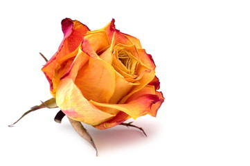 Dry rose bud on white background