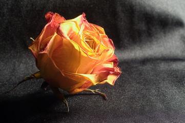Dry rose on black fabric