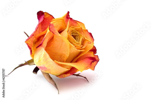 Dry rose bud on white background