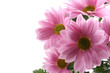 pink daisy flowers isolated on white - close-ups
