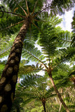 Jungle of cyathea lepifera, poster