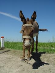 Donkey - Overcast Blue Sky.