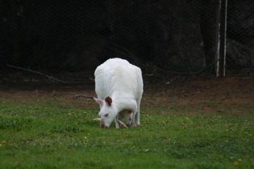 canguri bianchi-Australia