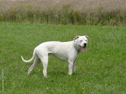 Dog argentin