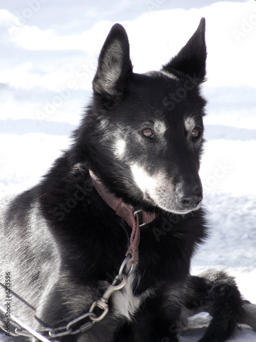 Alaskan sled dog on respite before the race