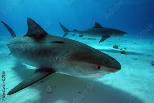 Fotobehang Tijger Tiger Sharks at Tiger Beach - Bahamas