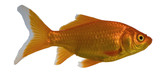 goldfish type known as a comet in water poster