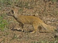 Typowy Mongoose jest dzielny zabójca jadowitych węży