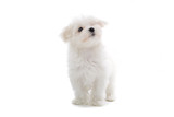 maltese dog isolated on white poster