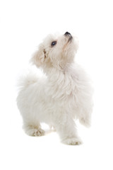 maltese dog isolated on white