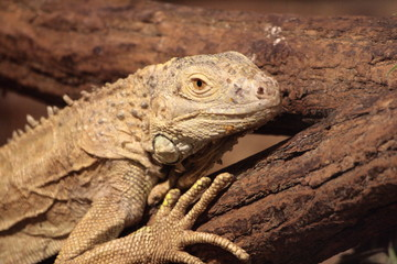 Iguana in attesa