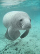 Manatee sea cow cristal river florida