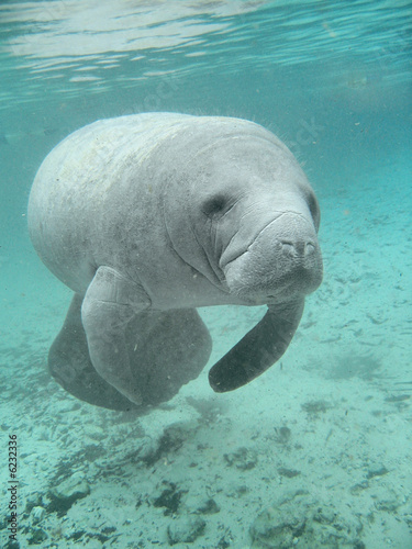 Foto op Canvas Koe Manatee sea cow cristal river florida