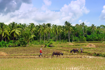 Asian farmers ploughing rice field with water buffalo