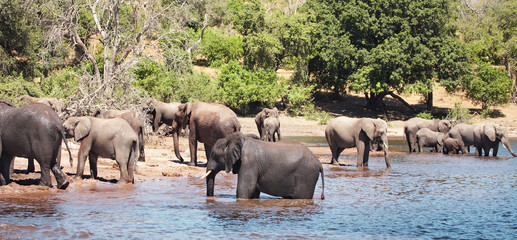Herd of elephants at watering, Chobe N.P., Botswana