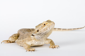 beautifull bearded Dragon