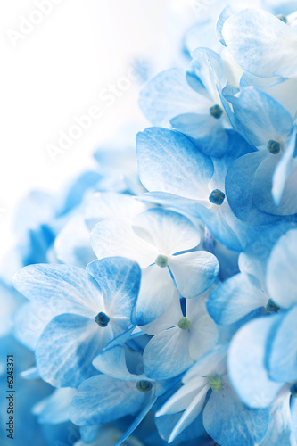 Hydrangea flowers background