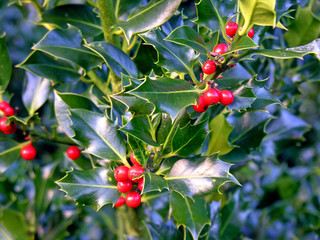 Holly with Red Berries - Ilex aquifolium