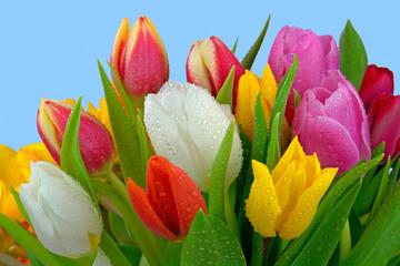 Frischer Tulpenstrauss mit Tau