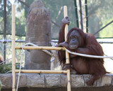 Young Orang-outang taking decision near ladder; close up poster