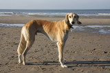 saluki - the fastest dog breed  poster