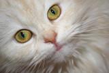 white fluffy cat portrait poster
