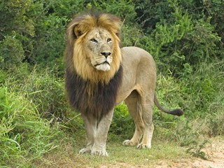 The huge head of a fully mature Male Lion