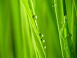 Close-up of fresh green straws with water drops