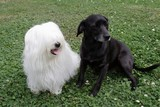 uncommon breed of dog Coton de Tulear and black dog poster