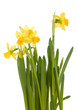 Yellow daffodils on white