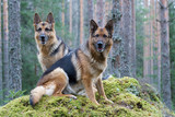 Two Germany shepherds poster