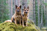 Two Germany shepherds sitting on the stone poster