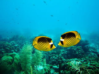 A couple of Racoon Butterfly fish