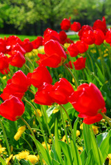 Bright red tulips blooming in a spring garden