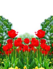 Floral background of bright red tulips blooming in a garden