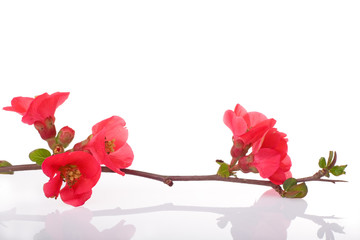 fruit-tree branch with spring red flowers