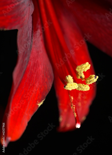 Red Amaryllis abstract macro, focus on stamen