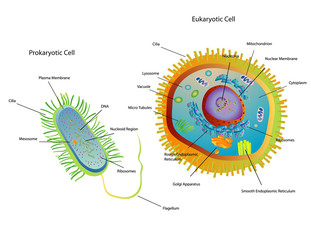 Cross section diagram of Prokaryotic and Eukaryotic cells