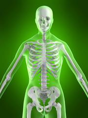 3d skelett illustration