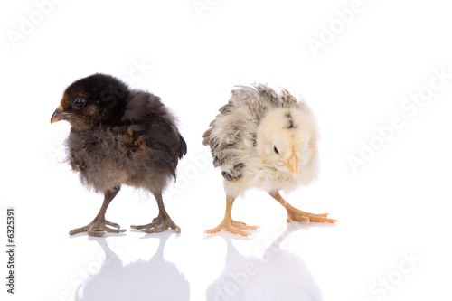 Leinwanddruck Bild Two baby easter chickens on white background