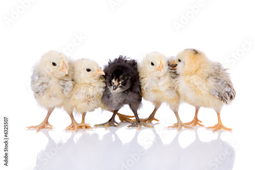 Leinwanddruck Bild Cute fluffy baby chickens standing together on white