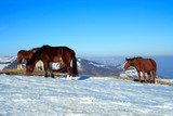 horses on pasture high at the mountains . poster